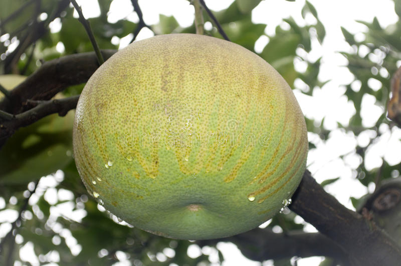 Download Pomelo stock photo. Image of healthiness, fruit, delicious - 21521062