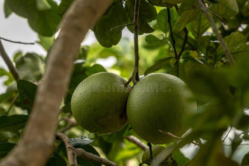 Pomelo, citrinos de amadurecimento naturais, pomelo verde que pendura no ramo de árvore imagem de stock
