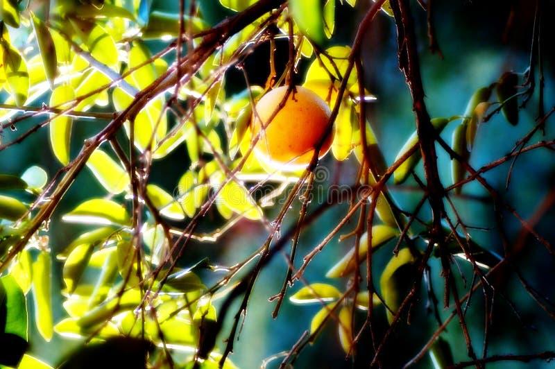 Pomelo de enero en California fotografía de archivo