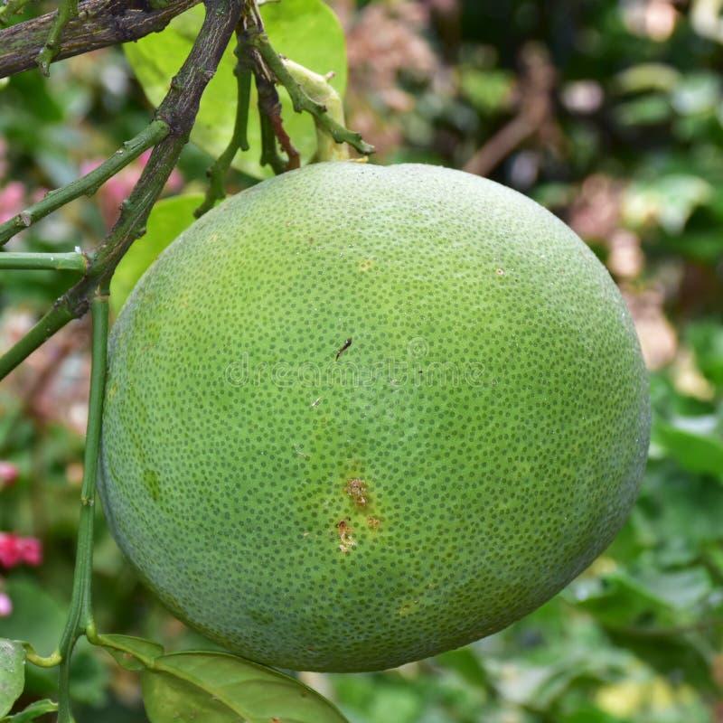 Pomelo dos citrinos fotografia de stock royalty free