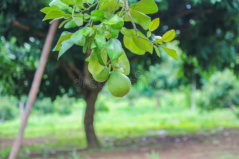 Pomelo in a garden stock images