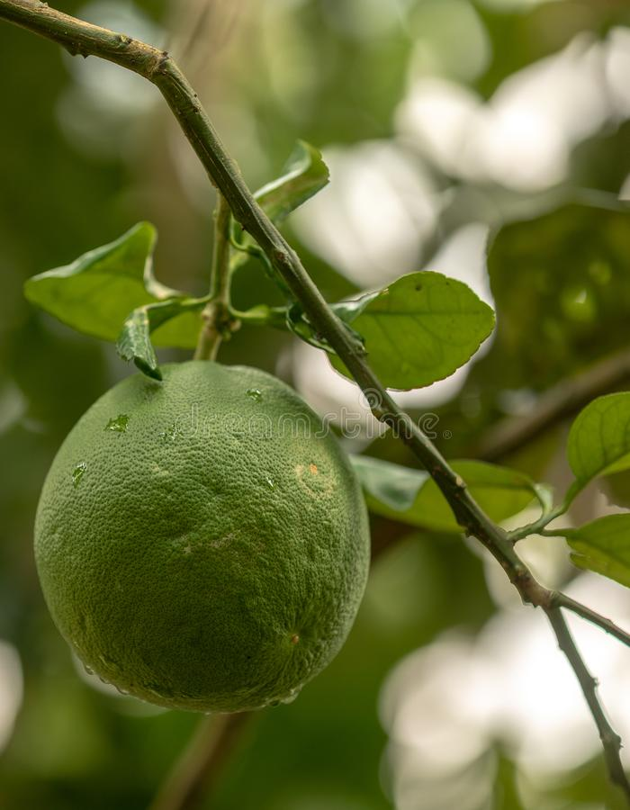 Pomelo, natural ripening citrus fruit, green pomelo hanging on tree branch royalty free stock photo