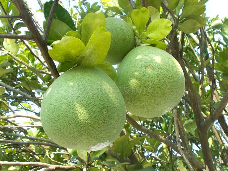 Pomelo pummelo fruit and tree 2. closeups . Pomelo pummelo citrus maxima fruit on the tree/ closeups stock photography