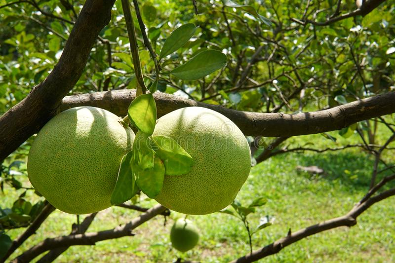 Pomelo, ripening fruits of the pomelo royalty free stock image