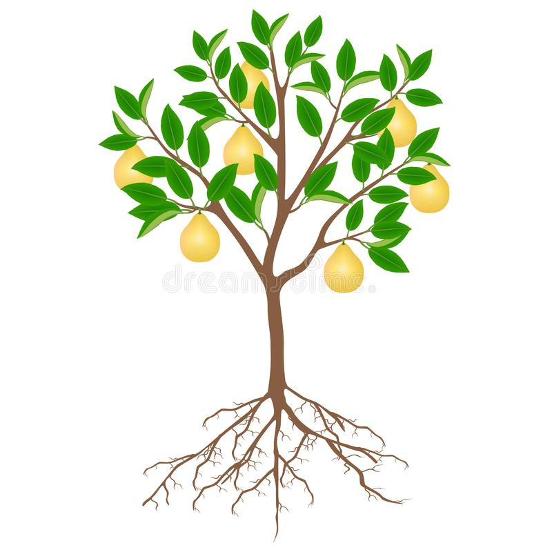 Pomelo tree with fruits and roots on a white background. Pomelo tree with fruits and roots on a white background, beautiful illustration stock illustration
