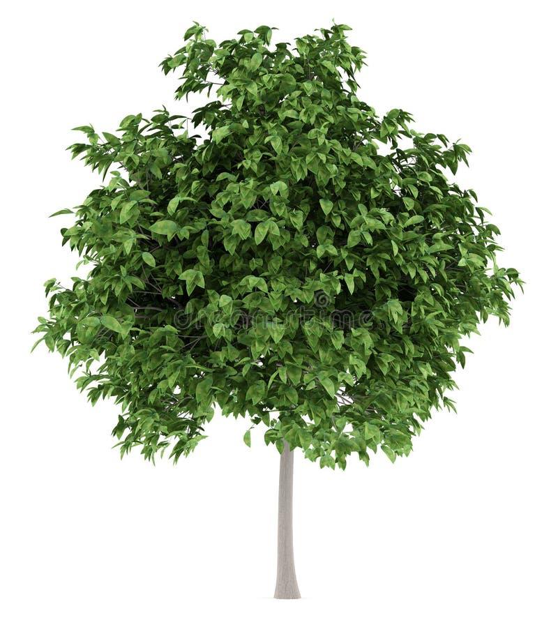 Pomelo tree isolated on white royalty free illustration