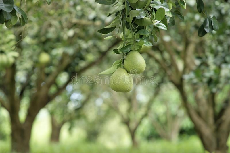 Pomelo tree. stock images