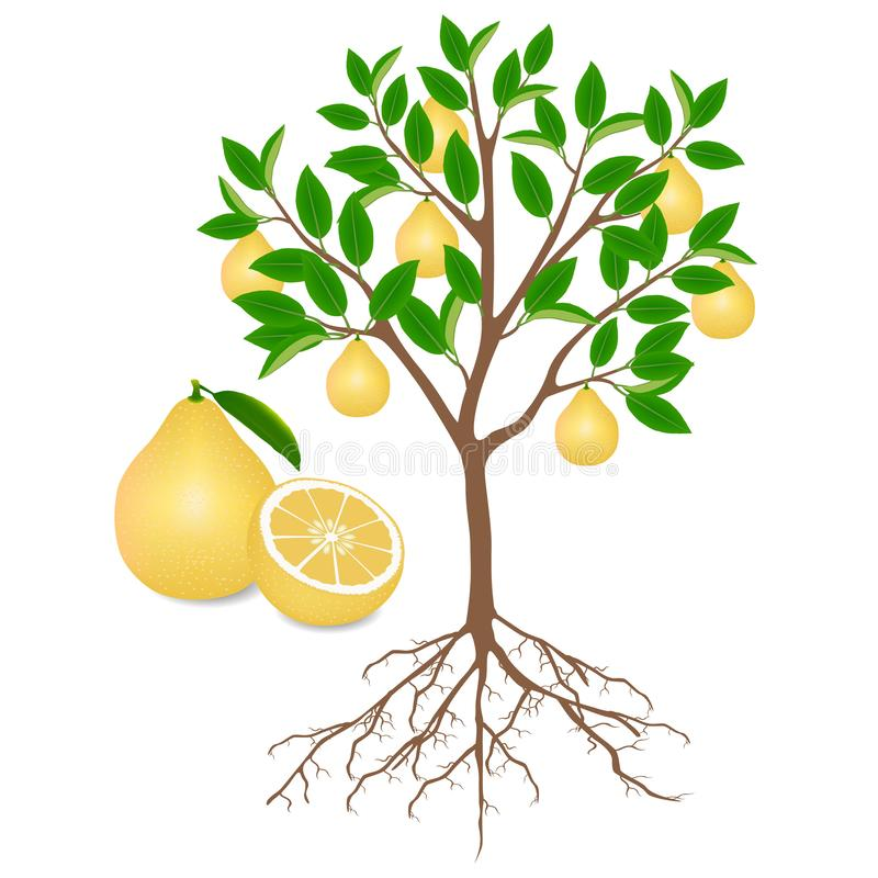 Pomelo tree with roots and fruits on white. Pomelo tree with roots and fruits on white, beautiful illustration vector illustration