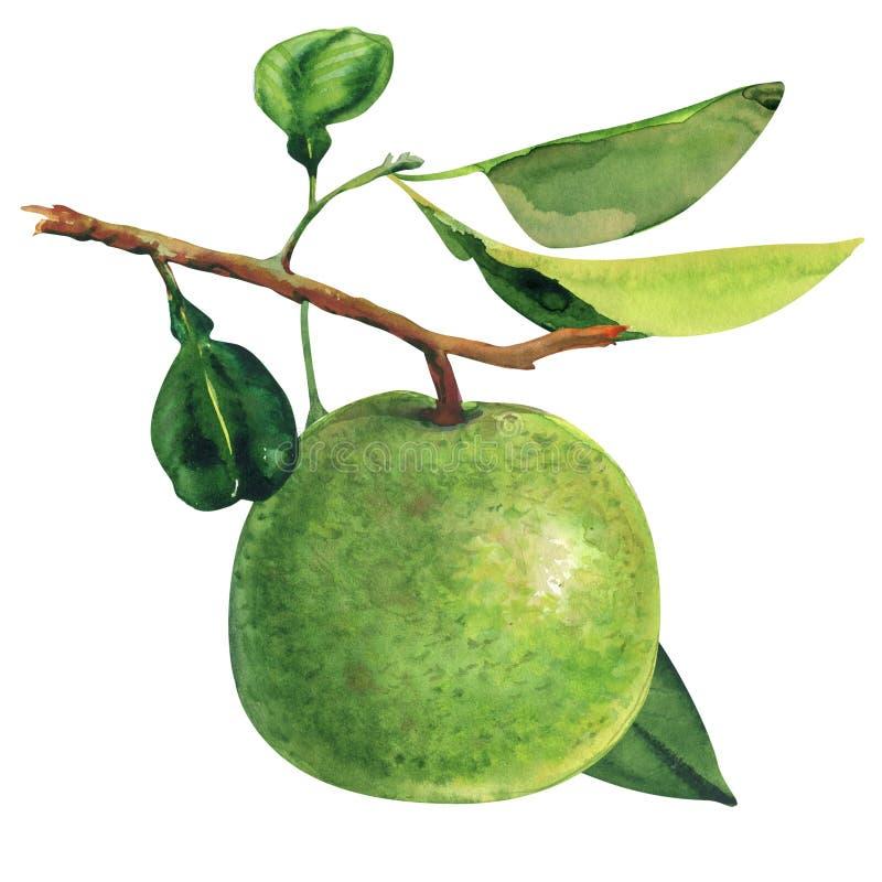 Pomelo verde maduro que pendura no ramo, na ?rvore de pomelo tropical, nos citrinos e na folha isolados, aquarela tirada m?o fotos de stock royalty free