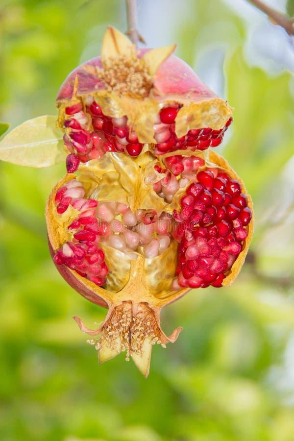 Pomengranate scoppio-aperto variopinto che pende dal suo ramo di albero in Kakopetria, Cipro fotografia stock