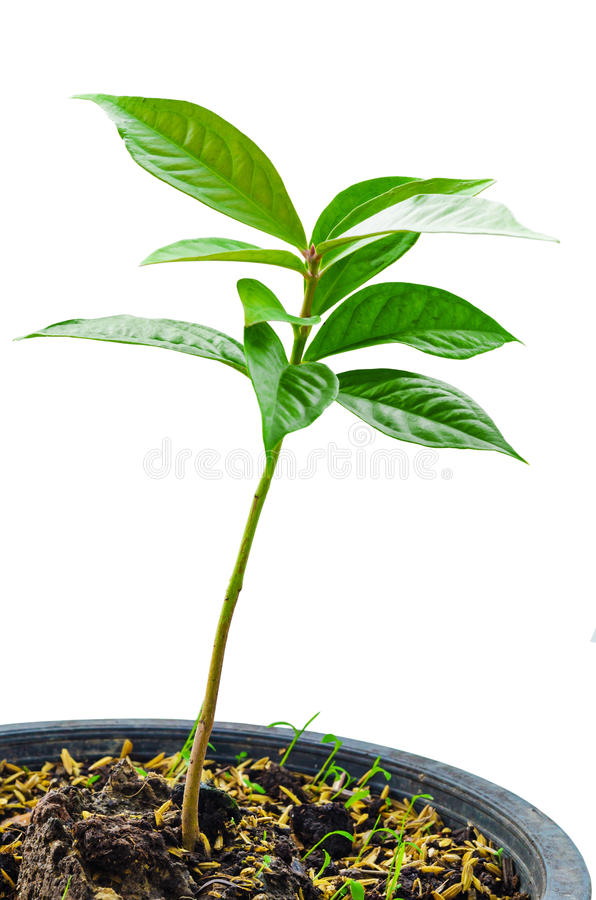 Pomerac, árvore malaio dos jovens da maçã imagens de stock