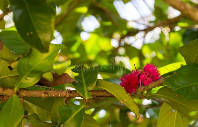 Pomerac ou flor do rosa de Apple do malaio imagens de stock royalty free