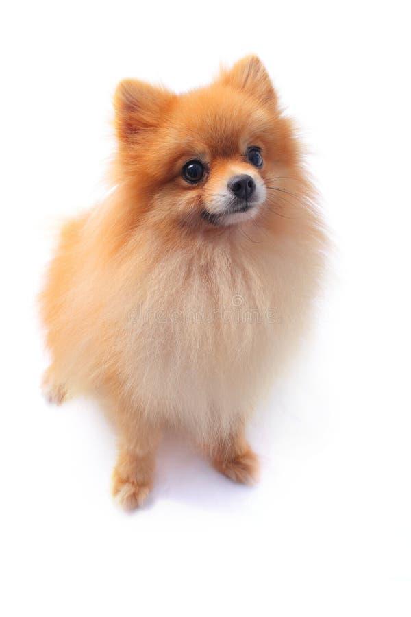 Pomeranain dog stock image