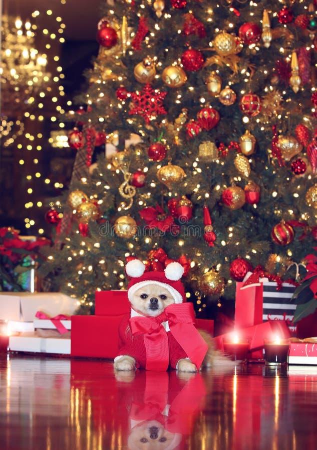 Pomeranian圣诞老人 免版税库存照片