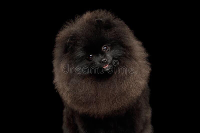 Pomeranian在黑色的波美丝毛狗狗 库存图片