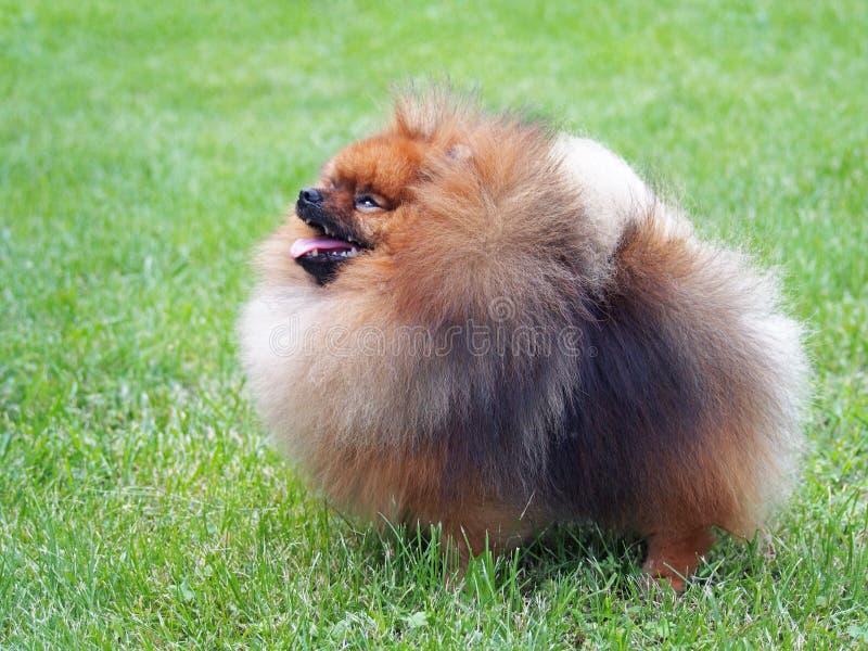Pomeranian在绿色草坪的矮人波美丝毛狗 免版税库存照片