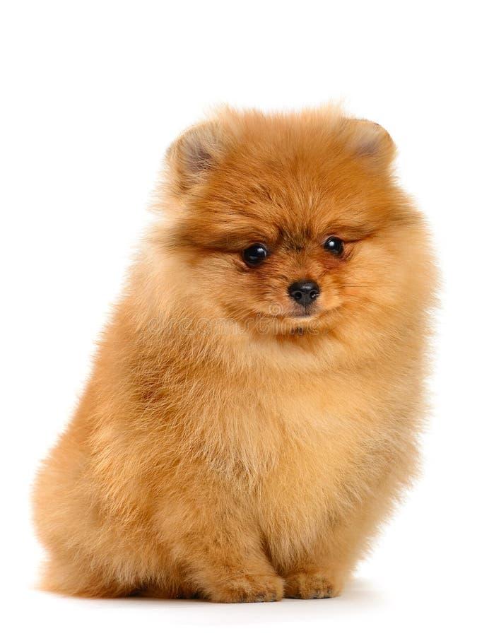 Pomeranian小狗 图库摄影