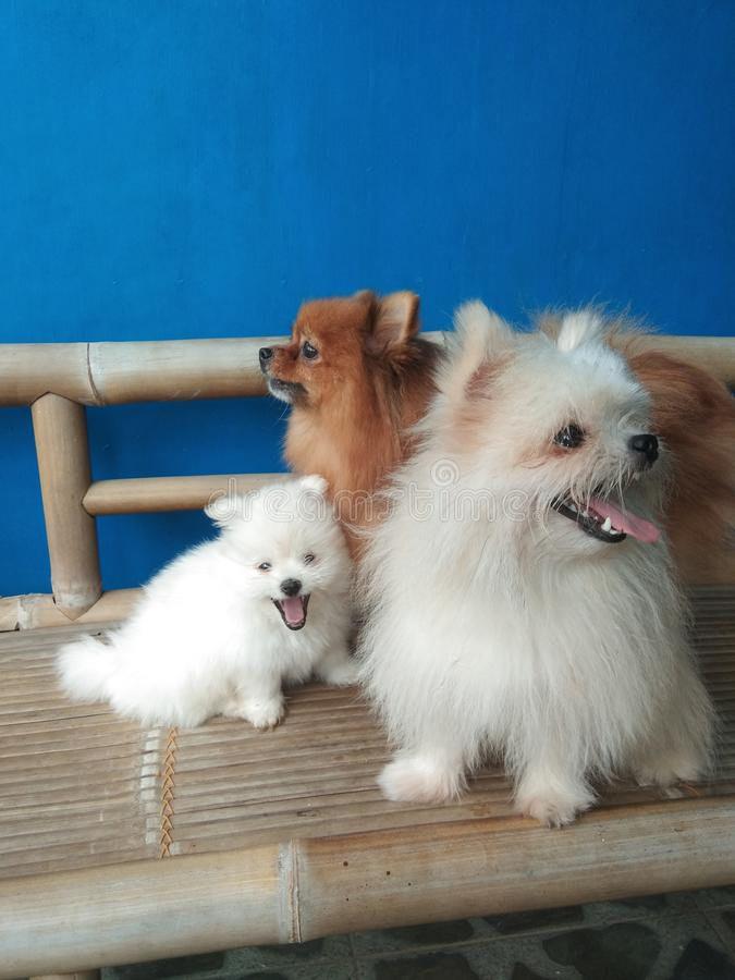 Pomeranian微型狗 免版税库存图片