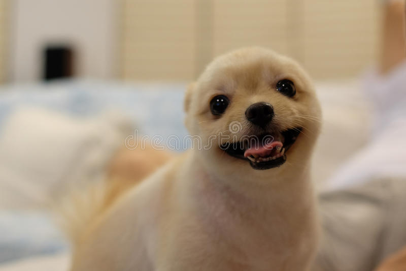 pomeranian微笑 免版税库存图片