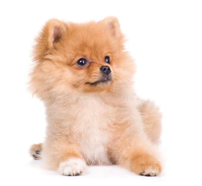 Pomeranian波美丝毛狗狗,被隔绝  库存照片
