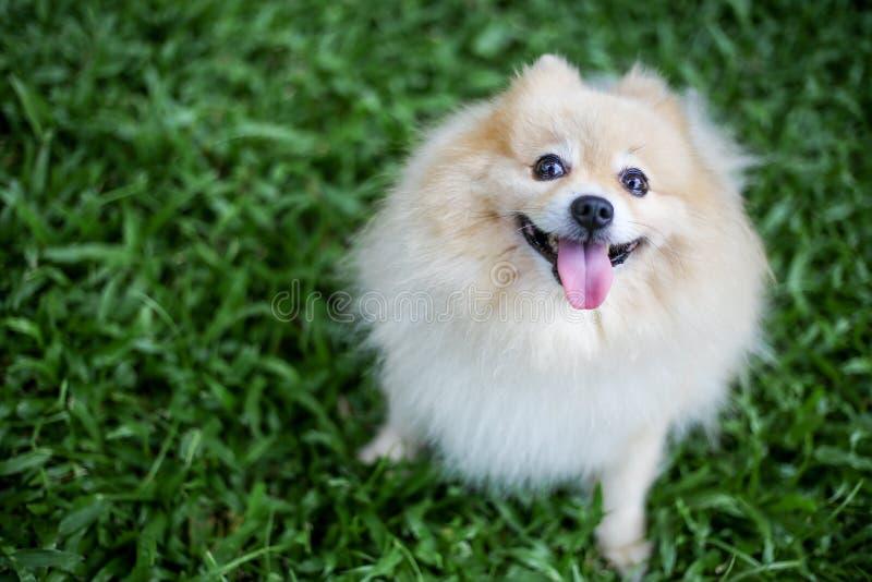 Pomeranian狗宠物开会 库存图片