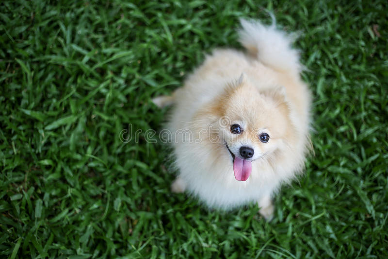 Pomeranian狗宠物开会 免版税库存图片