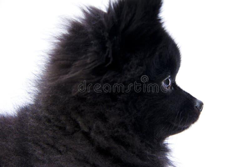Pomeranian外形II 免版税库存图片
