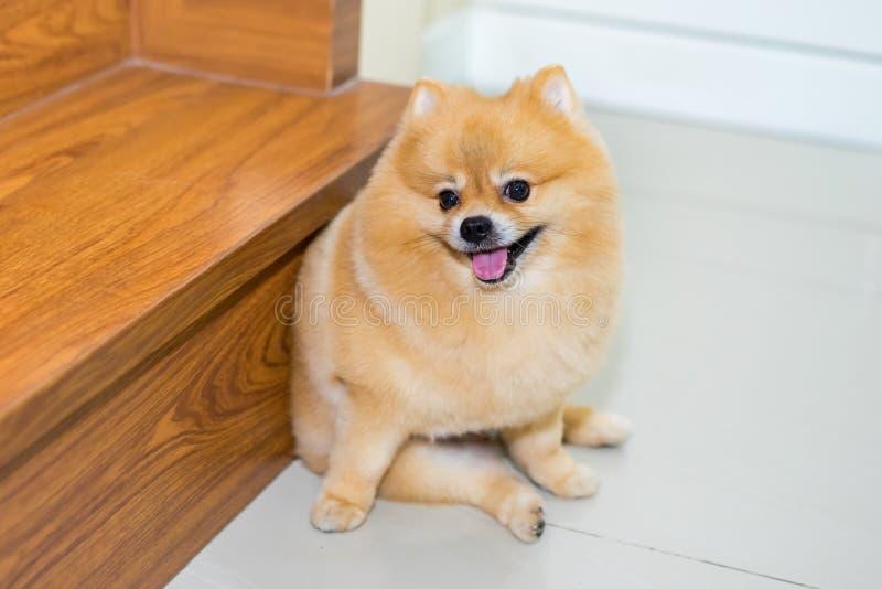 Pomeranian狗逗人喜爱的宠物短发样式在家,有选择性的foc 免版税图库摄影