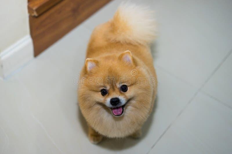 Pomeranian狗逗人喜爱的宠物短发样式在家,有选择性的foc 库存图片