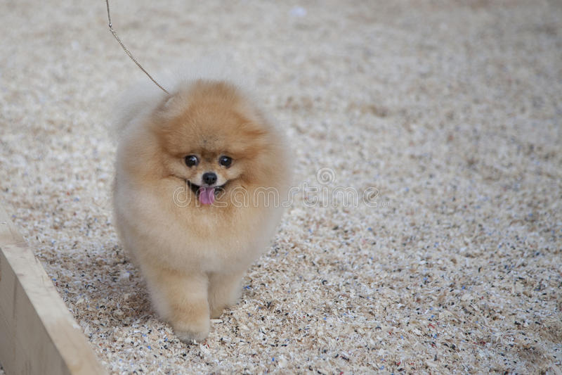 Pomeranian狗 库存图片