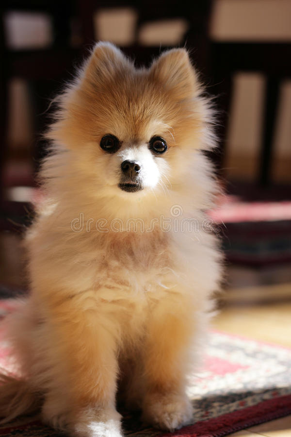 pomeranian逗人喜爱的狗 库存图片