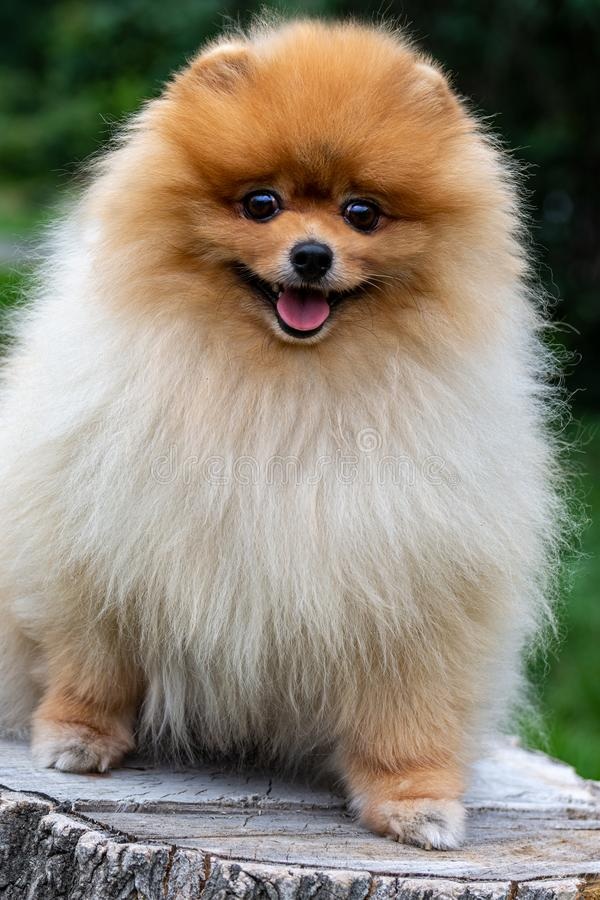 pomeranian Χαριτωμένες χνουδωτές γοητευτικές κοκκινομάλλεις Spitz στάσεις ολόκληρες σε ένα κολόβωμα Περίπατος με ένα σκυλί μια ηλ στοκ εικόνα με δικαίωμα ελεύθερης χρήσης