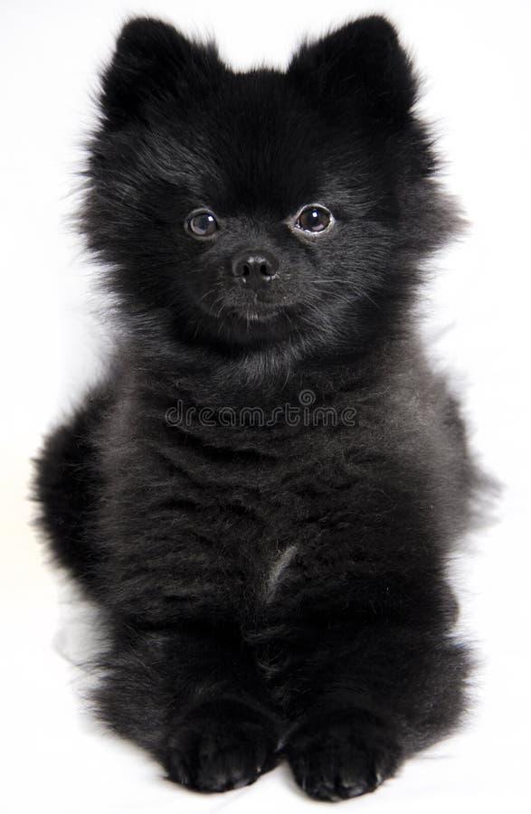 Pomeranian сидит стоковые фотографии rf