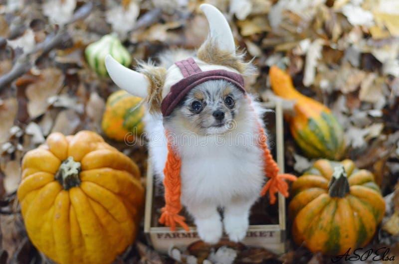 pomeranian щенок стоковое фото rf