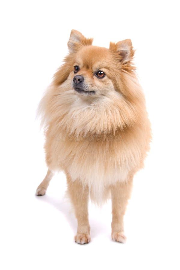 Pomeranian fotografía de archivo