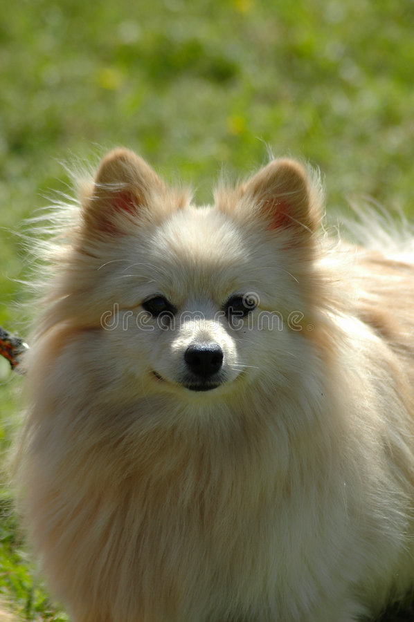 Download Pomeranian imagen de archivo. Imagen de amigo, criado - 1282161