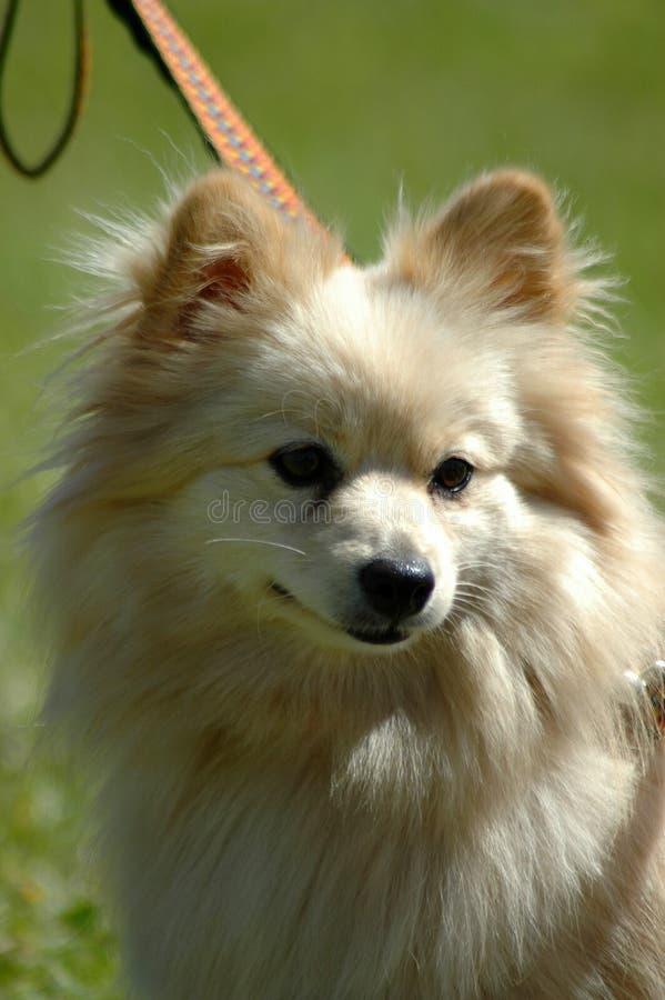 Pomeranian stock afbeelding
