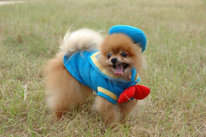 Pomeranian stock fotografie