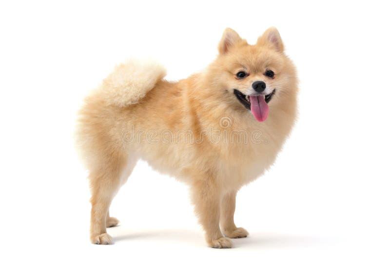 Download Pomeranian stock photo. Image of pets, pomeranian, white - 26527598