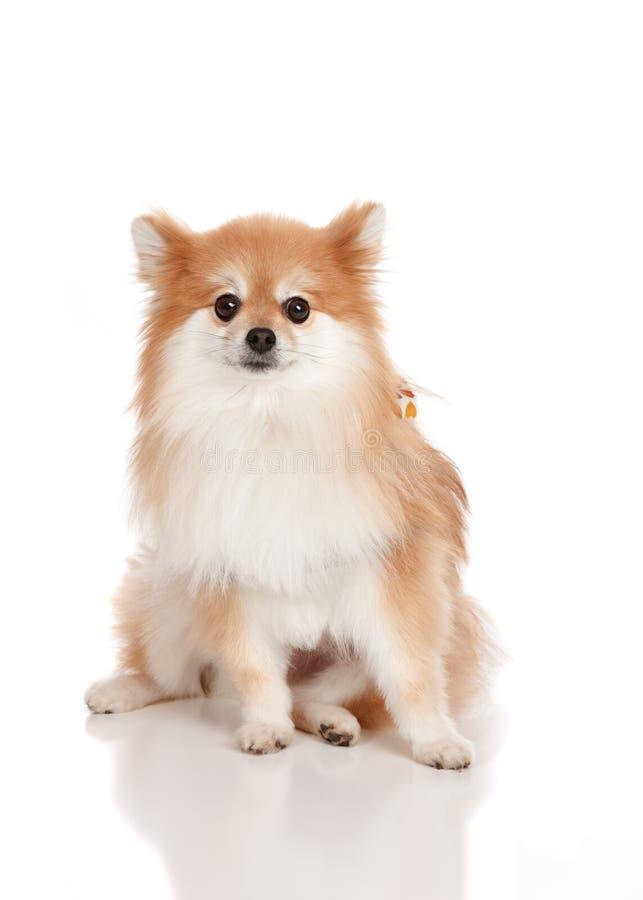 Pomeranian fotografia stock libera da diritti