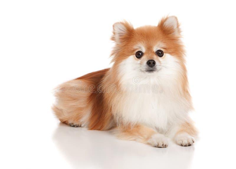 Pomeranian immagini stock libere da diritti