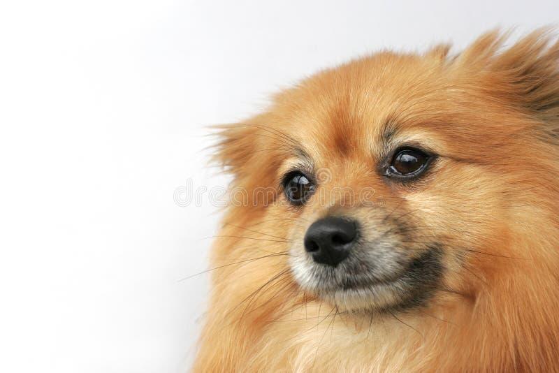 Pomeranian stockbild