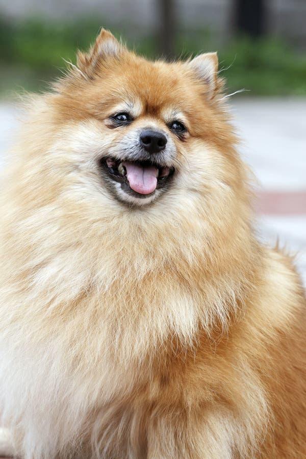 Pomeranian royalty-vrije stock afbeelding