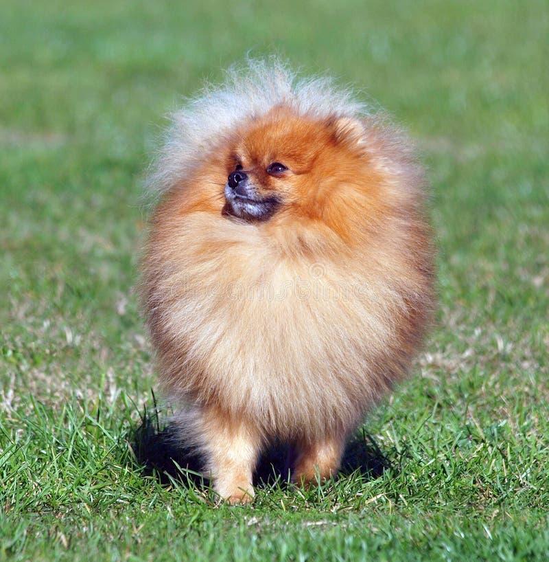Pomeranian fotos de stock royalty free