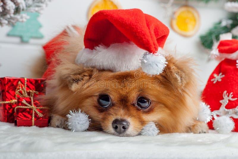 Pomeranian in abbigliamento di Santa su un fondo delle decorazioni di Natale immagini stock libere da diritti