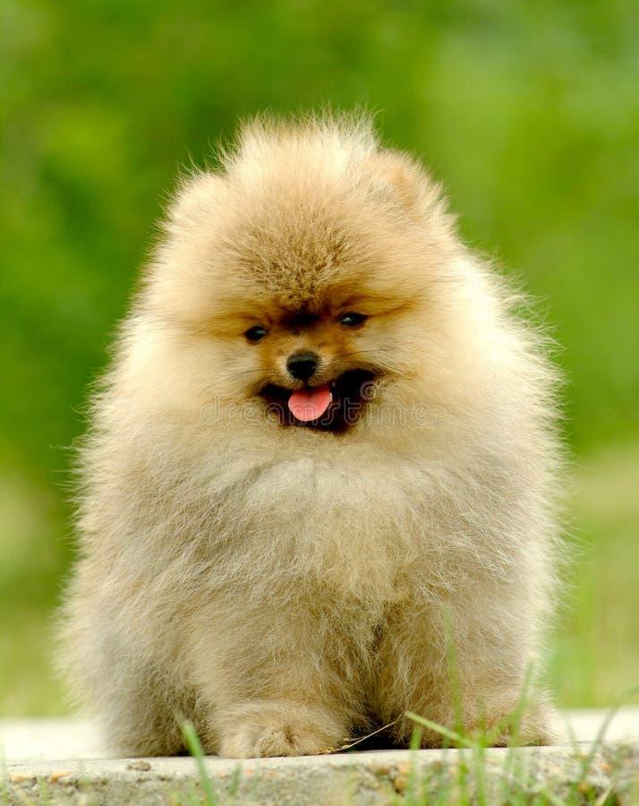 Pomeranian allemand photo libre de droits