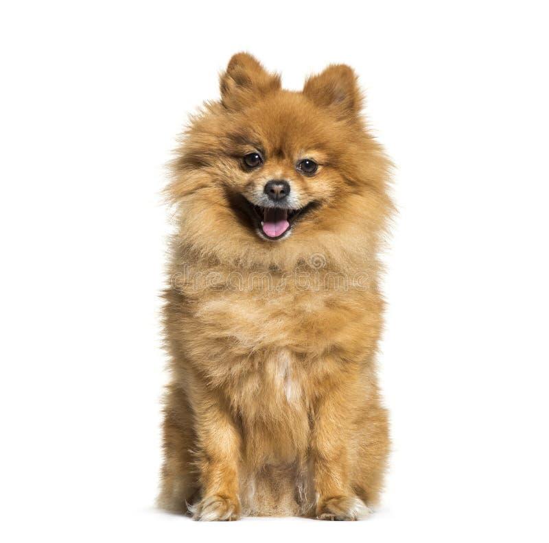 Pomeranian, 4 années, se reposant devant le fond blanc photographie stock libre de droits