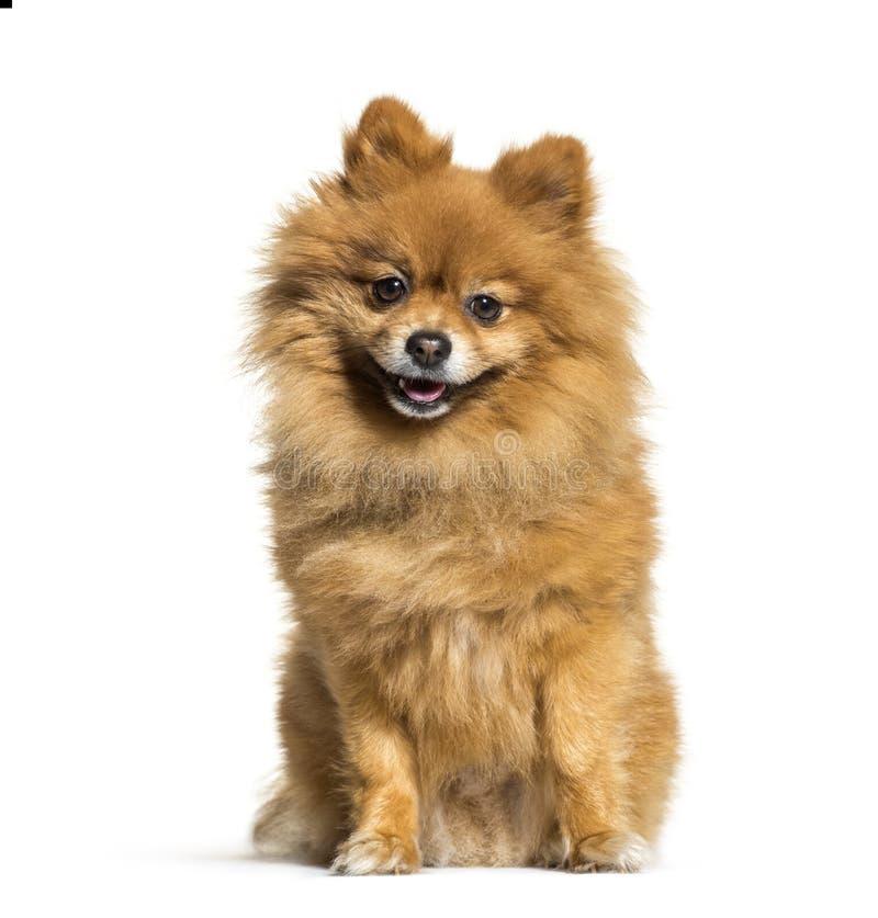 Pomeranian, 4 années, se reposant devant le fond blanc photo libre de droits