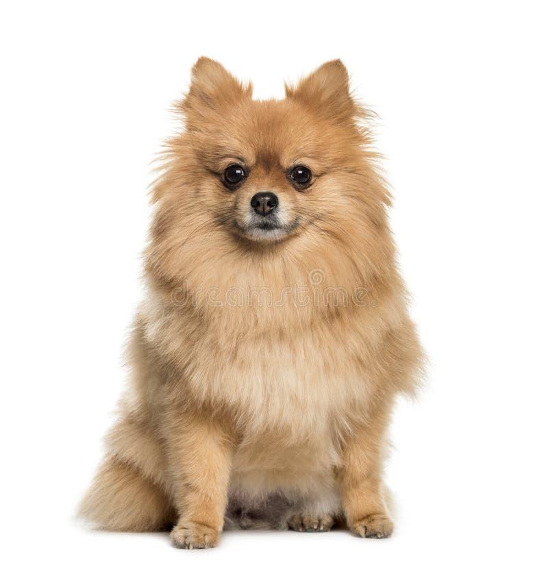 Pomeranian, 3 années, se reposant devant le fond blanc image stock