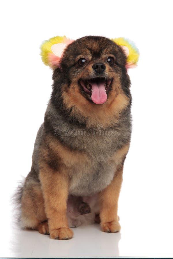 Pomeranian asentada emocionado vestida como oso para Halloween es panti imagen de archivo